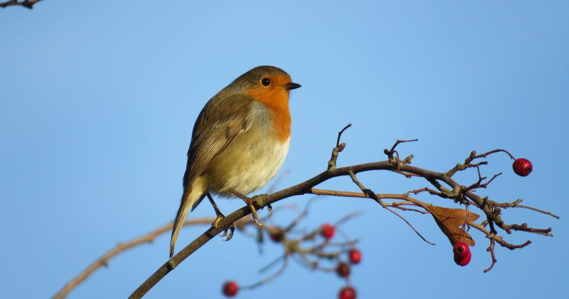 Robin bird with blue sky