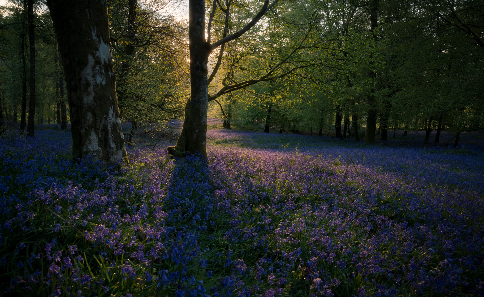 Forest and bluebells