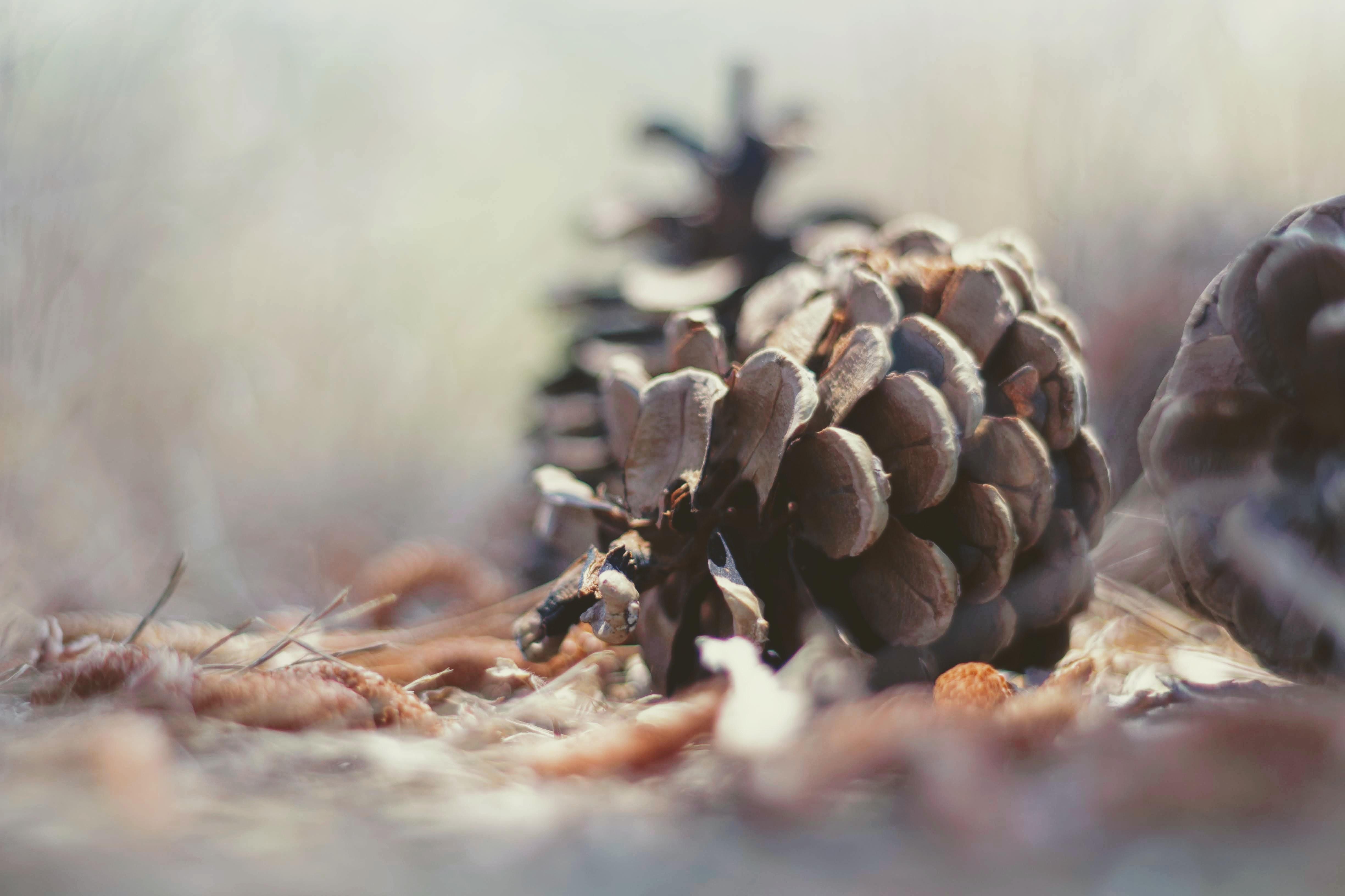 Close up of pine cone