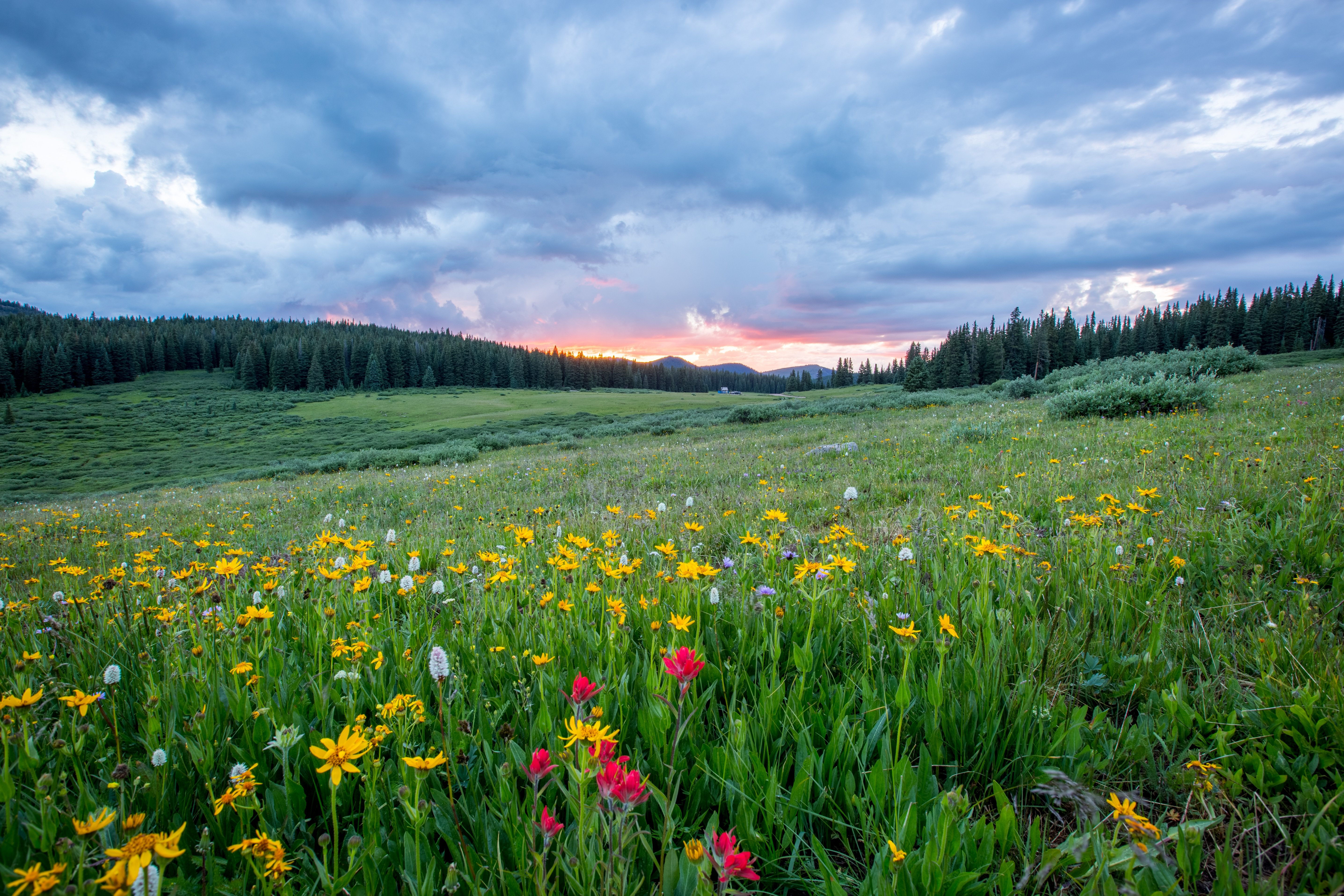 Flowers in field with pine trees and sunset in distance